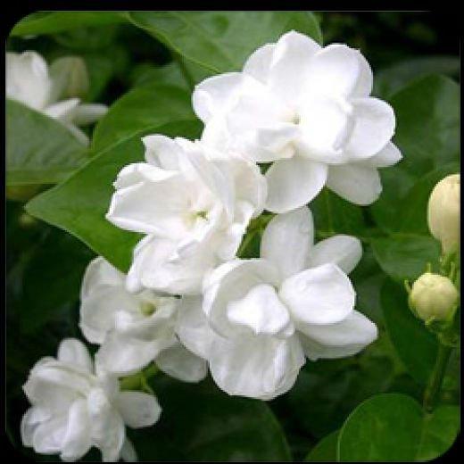 Jasmine-Oil-Arabian-jasmine-