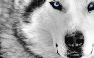 O Lobo Solitário