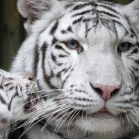 3set2012---filhote-raro-de-tigre-branco-indiano-brinca-com-sua-mae-no-zoologico-de-liberec-na-republica-tcheca-1346696965009_956x500