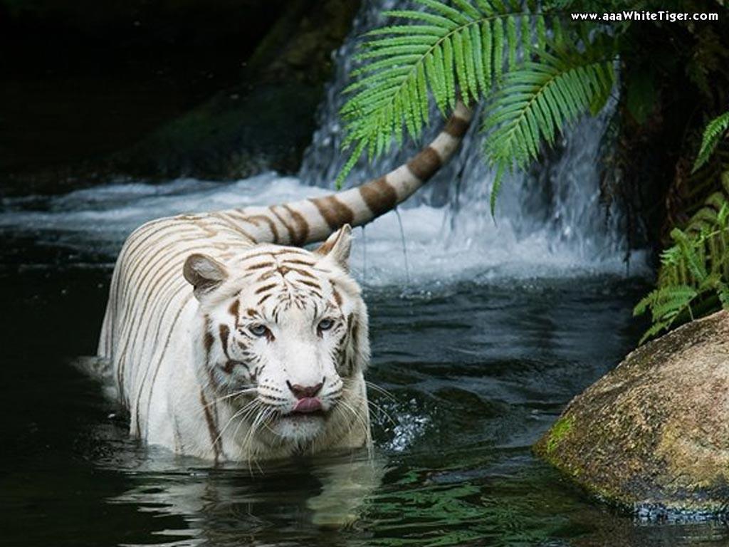 tigre-branco-na-agua-wallpaper-5193