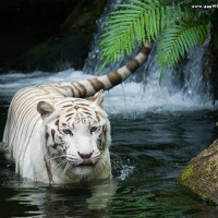 tigre-branco-na-agua-wallpaper-5193