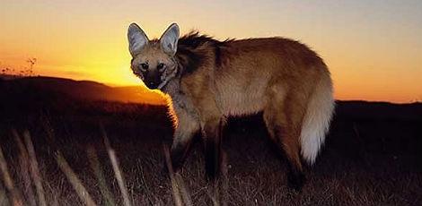 Lobo-guará no cerrado